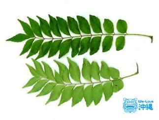オオバゲッキツ(カレーリーフ)の生茎葉