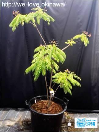オオバゲッキツ(カレーリーフ)の苗木