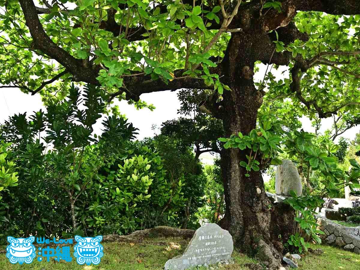 コバテイシの老木
