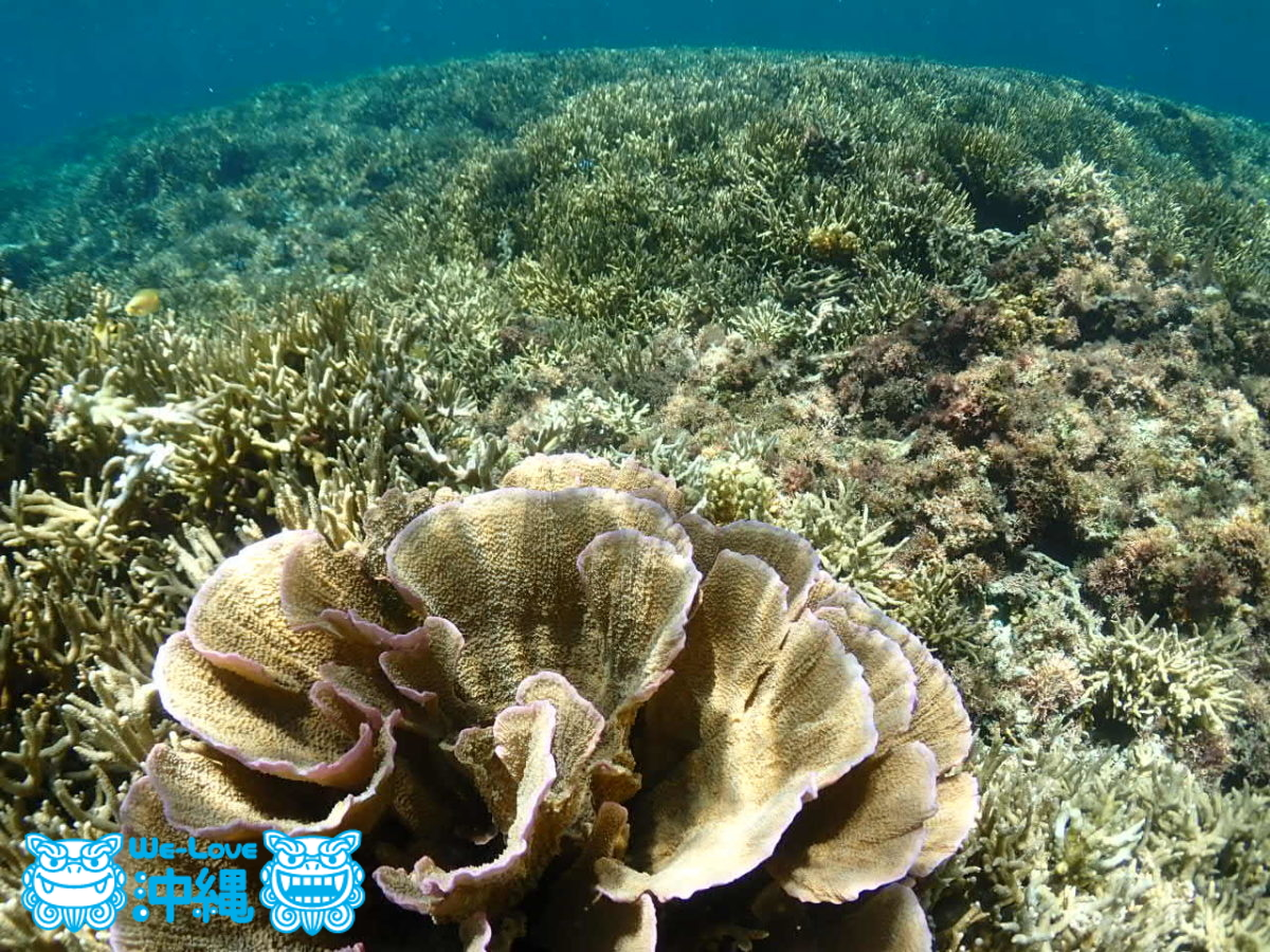 美しいサンゴ