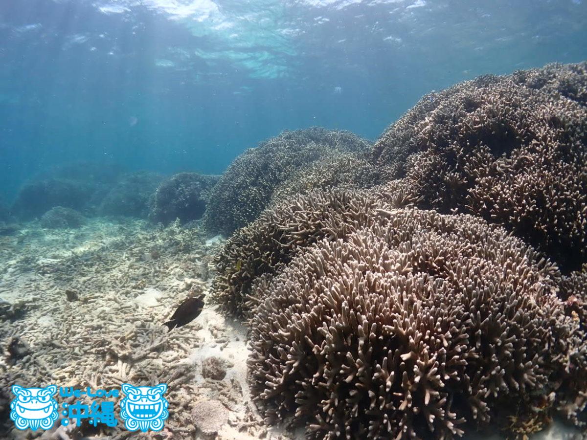 ユビエダハマサンゴの群生